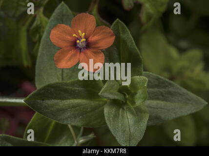 Scarlet pimpernel, Anagallis arvensis, growing as an annual garden weed. Norfolk. - Stock Photo