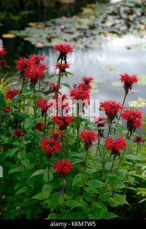 Monarda Fireball,red Bergamot,bee balm, red, flower,flowers,flowering, garden,pondside,poolside,perennial,RM Floral - Stock Photo