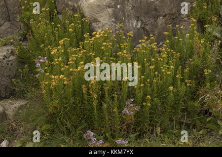 Golden Samphire, Inula crithmoides, with Sea Aster, on limestone, Dorset coast. - Stock Photo