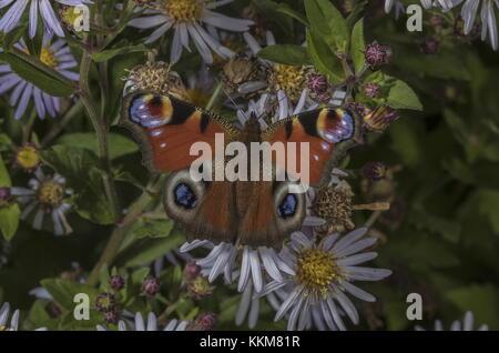 Peacock, Inachisio, butterfly on garden Michaelmas Daisies, autumn. - Stock Photo