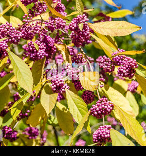 Beautyberry bush with ripe fruits in autumn - Stock Photo