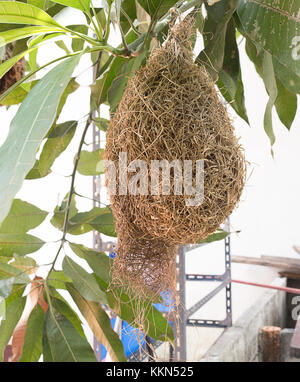 Skylark Nests, weaverbird Nest made of hay ,Skylark nests on branches in the area to come naturally.(select focus - Stock Photo