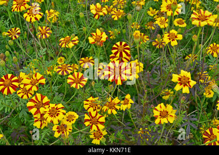 Close up of flowering Tagetes patula 'Jolly Jester' in a country garden - Stock Photo