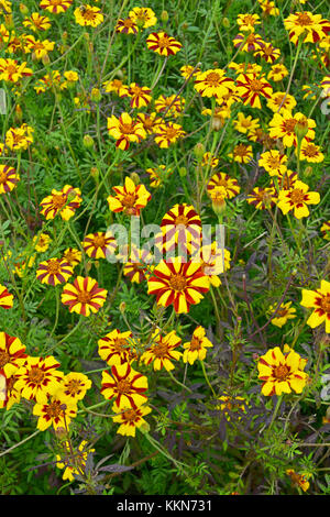 Close up of colourful flowering Tagetes patula 'Jolly Jester' in a country garden - Stock Photo