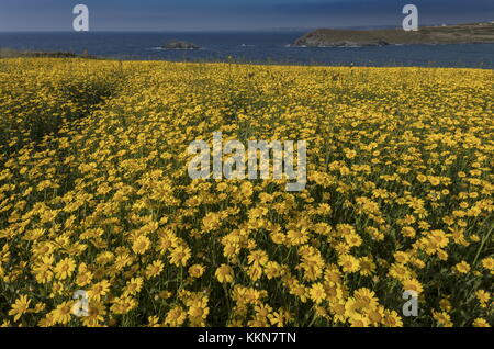 Corn marigold, Glebionis segetum, in dense masses in arable field at Porth Joke, near Crantock, Cornwall. Stock Photo