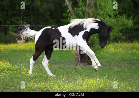 Pinto Tennessee Walker - Stock Photo