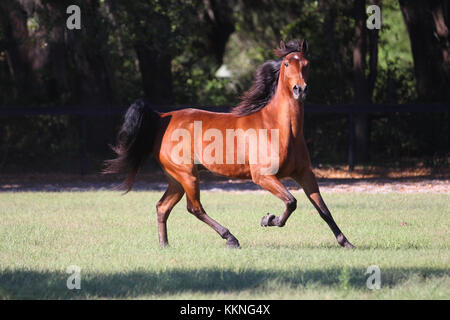 Tennessee Walker - Stock Photo