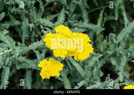 Yellow yarrow flowers, green field bush plant, Achillea millefolium (Coada Soricelului) close up. - Stock Photo
