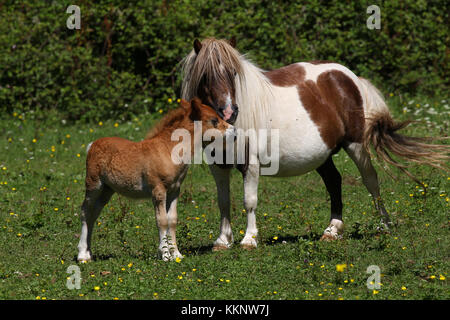 Shetland Mare and Foal - Stock Photo