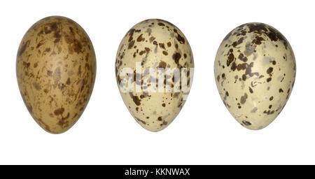 Black-headed Gull - Larus ridibundus - Stock Photo
