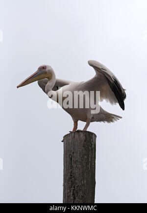 Great White Pelican on a post in Walvis Bay, Namibia - Stock Photo
