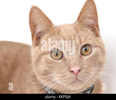 Portrait of Young Ginger Tom Cat - Stock Photo
