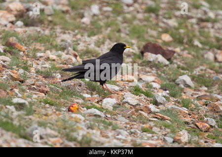 Alpine Chough (Pyrrhocorax graculus) in French Alps - Stock Photo