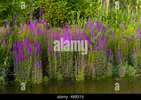 Pink flowers of blooming Purple Loosestrife, also called Spiked Loosestrife (Lythrum salicaria) on the rivers shoreline - Stock Photo