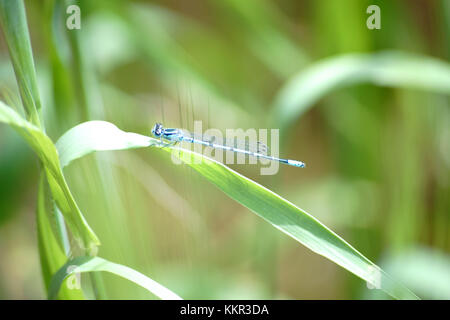 Close-up of a blue dragonfly, azure damselfly sitting on the leaf of a cereal plant. - Stock Photo