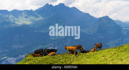 Herd of cows on an Alpine meadow - Stock Photo