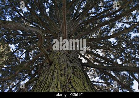 Gigantic sequoia, Sequoiadendron giganteum, island Mainau, Lake of Constance, Germany - Stock Photo