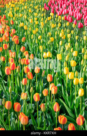 Multicolored tulips in bloom at the Keukenhof Botanical garden Lisse South Holland The Netherlands Europe - Stock Photo