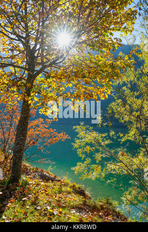 Maple tree with sun in spring, Lake Plansee, Tyrol, Austria - Stock Photo