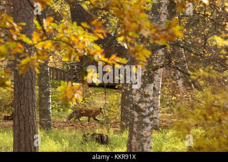 Red Fox, vulpes vulpes, Adult walking in autumnal garden, Finland - Stock Photo