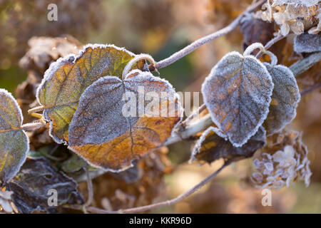 Frosty hydrangea leaves on a blur background - Stock Photo