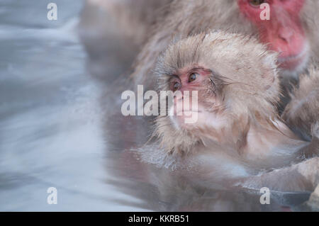 Japanese macaque or snow japanese monkey, baby, in onsen (Macaca fuscata), Japan - Stock Photo