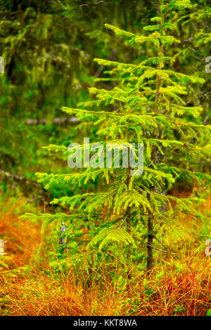green young spruces growing in the forest - Stock Photo