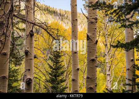 Aspen Trees Changing Leaf Color Yellow In Fall Colors Season - Stock Photo