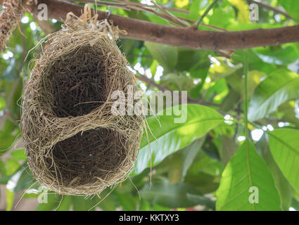 Skylark Nests, weaverbird Nest made of hay ,Skylark nests on branches in the area to come naturally. and Blur blurred - Stock Photo