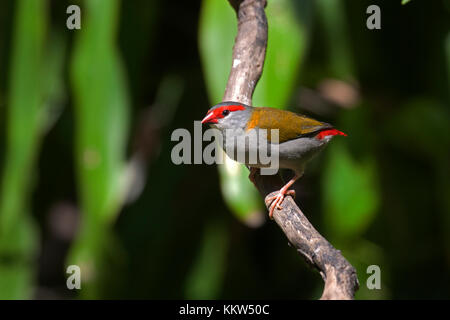 Red browed finch on branch of tree in Queensland Australia - Stock Photo
