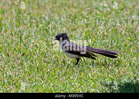 Willie wagtail in Australia - Stock Photo
