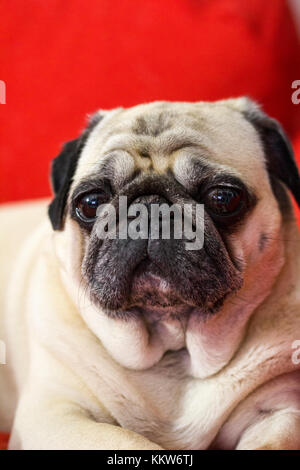 the sweet nose of a small pug - Stock Photo