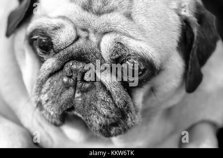 Beautiful, Beauty, Carlino, Close-up, Cute, Dog, Examining, Horizontal, Human Face, Lap Dog, Looking, Piccolo, Pug, - Stock Photo