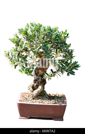 Bonsai of an olive tree in pot and completely cut out on white Stock ...