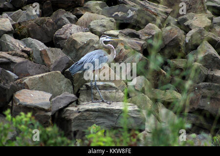 Great blue heron on rocks - Stock Photo