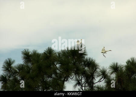Egrets nesting in pine trees, South Carolina - Stock Photo
