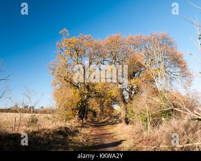 autumn big trees bare branches leaves yellow orange blue sky landscape; essex; england; uk - Stock Photo