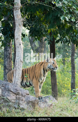 Tiger cub standing on a rocky edge inside pench national park during wildlife safari - Stock Photo