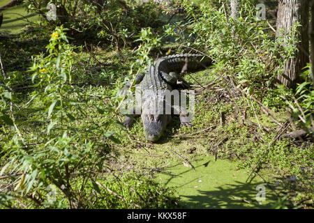 Alligators at Jungle Adventures Wildlife Park,Christmas, Florida - Stock Photo