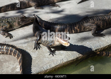 Alligators at Jungle Adventures Wildlife Park,Christmas, Florida - Stock Photo