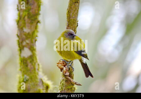 An endemic Bellbird on the South Island, New Zealand - Stock Photo