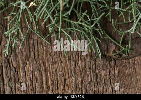 greening, nature, background concept. there is close up of dark green parts of beautiful conifer tree calls cypriss - Stock Photo