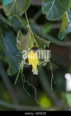 Southern masked weaver starts building a new nest, Namibia