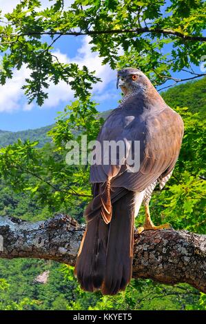 Goshawk perched on a tree in forest. - Stock Photo