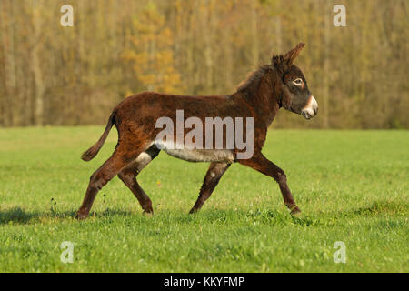 Zwergesel im Herbst auf der Weide / Donkey trotting in the field in autumn - Stock Photo