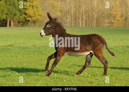 Zwergesel galoppiert  im Herbst auf der Weide / Donkey cantering in the field in autumn - Stock Photo