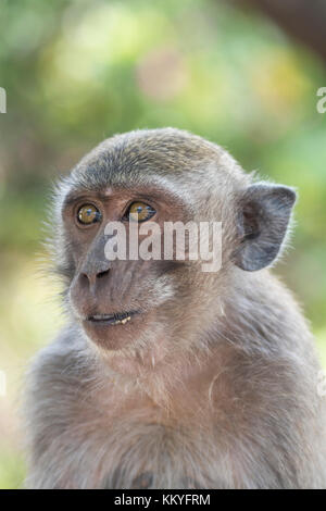 Juvenile crab-eating macaque (Macaca fascicularis), also known as the long-tailed macaque, is a cercopithecine primate - Stock Photo