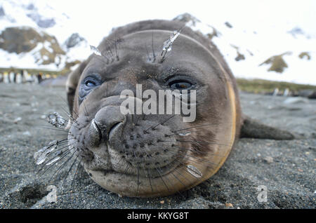 Juvenile southern elephant seal (Mirounga leonina) with ice on whiskers. Gold Harbour, South Georgia Island - Stock Photo