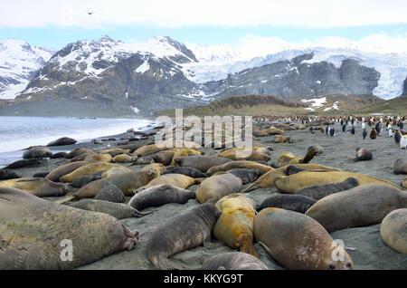 Southern Elephant Seals (Mirounga leonina) on beach during mating season. Gold Harbour, South Georgia. - Stock Photo