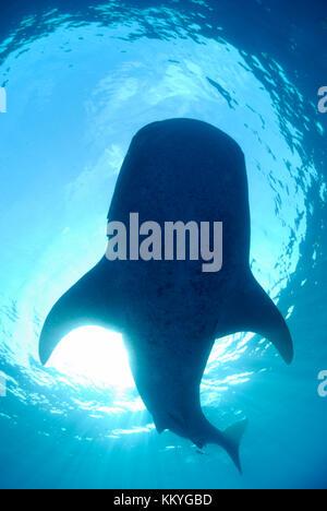 Whale shark, Rhincodon typus.  Yucatán Peninsula, Mexico, Caribbean Sea - Stock Photo